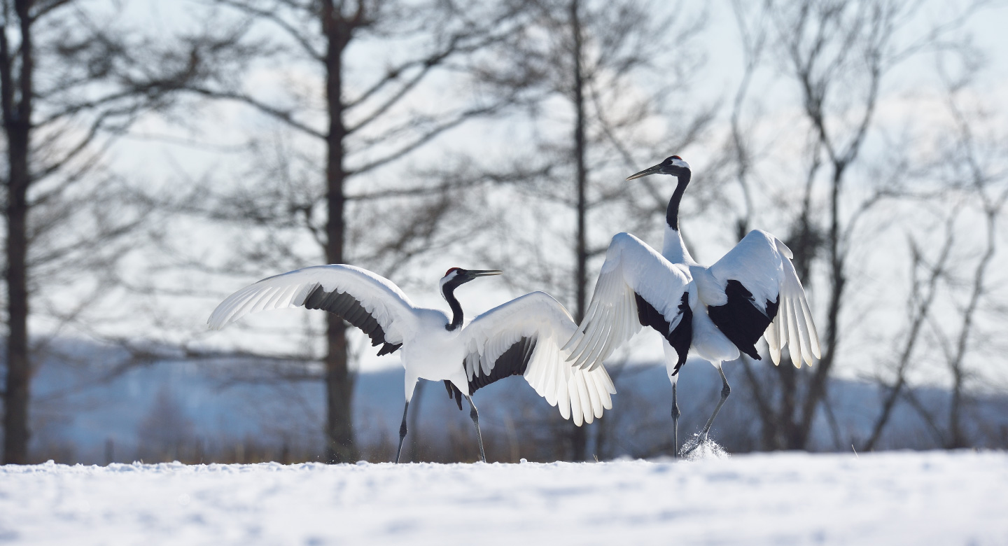 Enjoy a holiday in Kushiro,  East Hokkaido and get the chance to meet the Japanese crane.