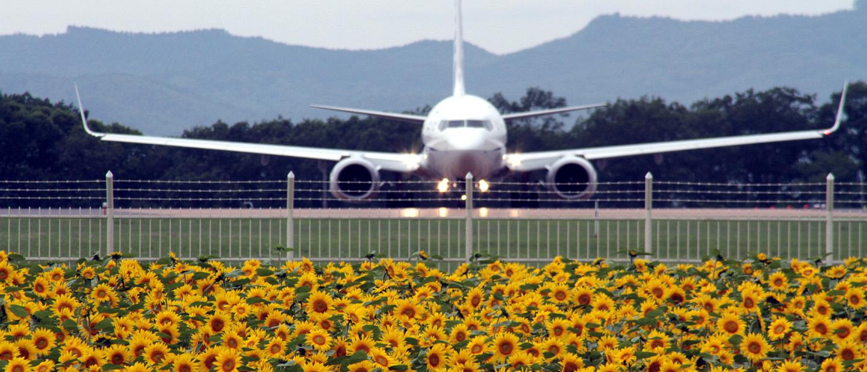 女満別空港周辺ひまわり畑